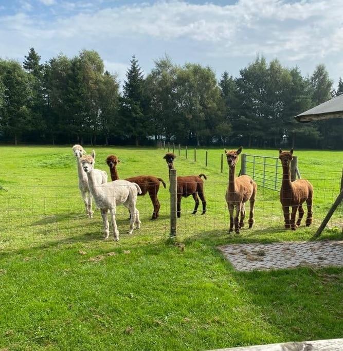 Alpacas at The Oaks Barn in Kent